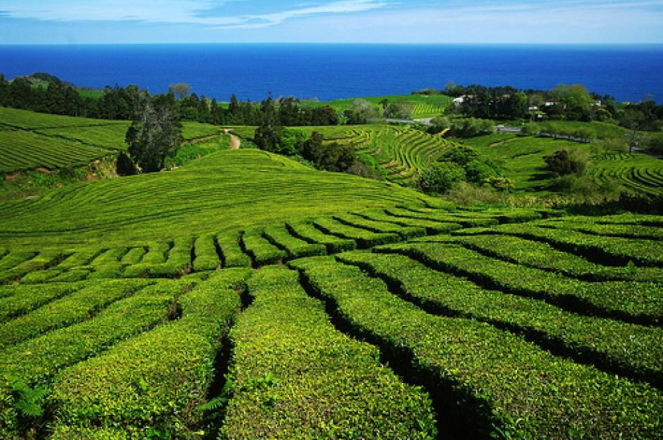 azores food green tea plantation cha gorreana ribeira grande
