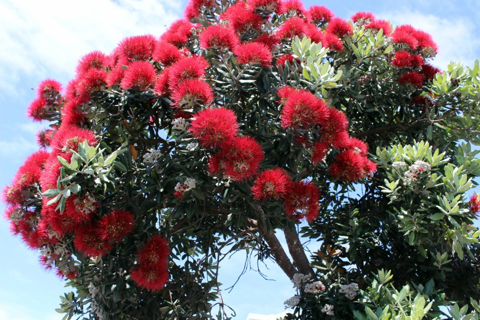 Bright red flowers of a pohutukawa tree, Azores endemic flora