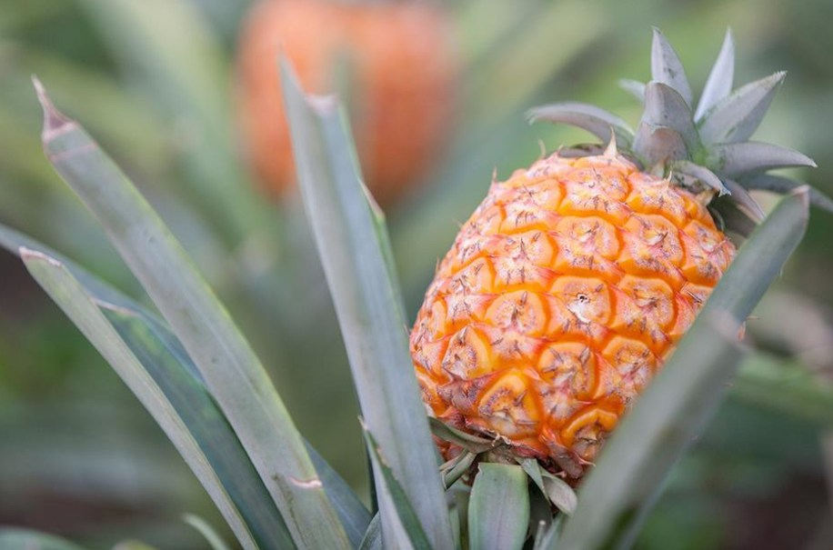 azores pineapples in greenhouse Ponta Delgada