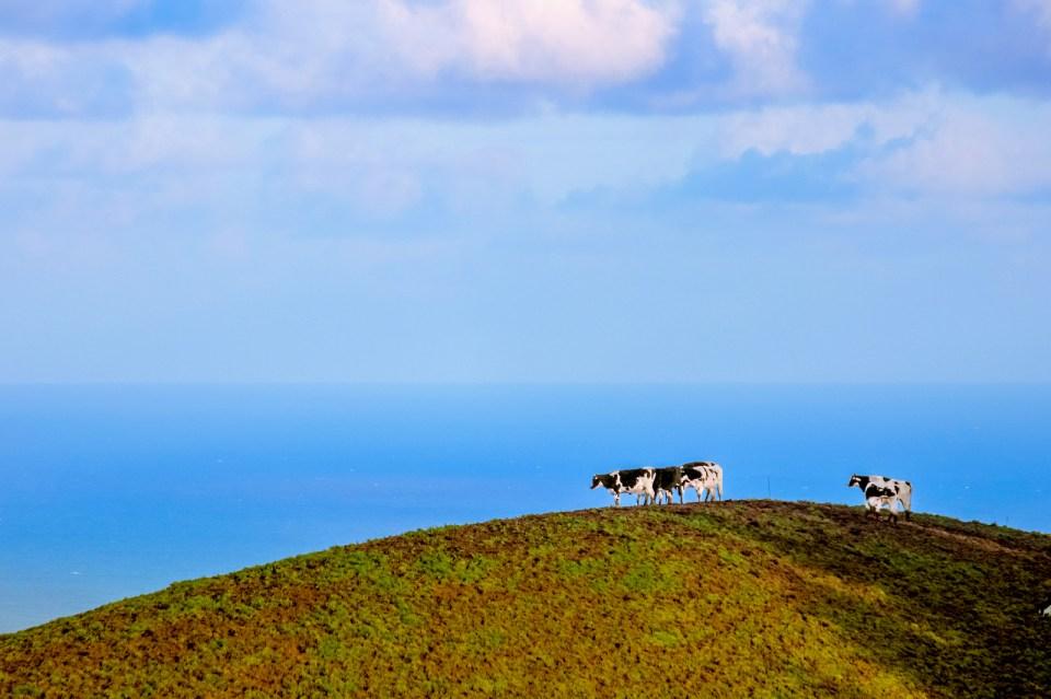 Azores cows in pasture dairy market sao miguel vaca dos acores