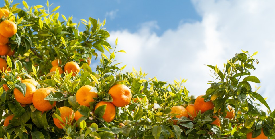 Ripe oranges at orange tree