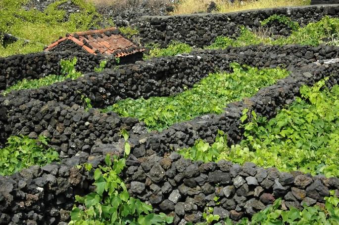 Typical Azores Vinyard