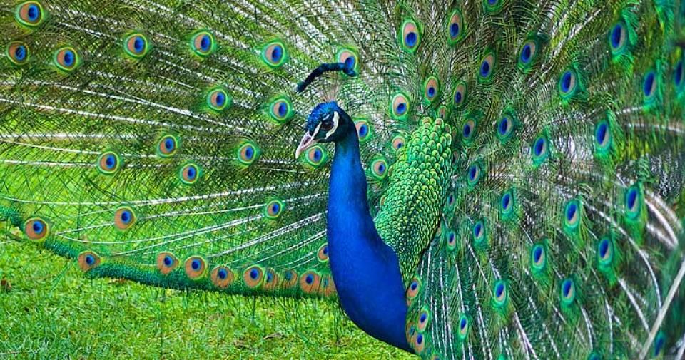 Azores island garden flora and fauna peacock portuguese bird