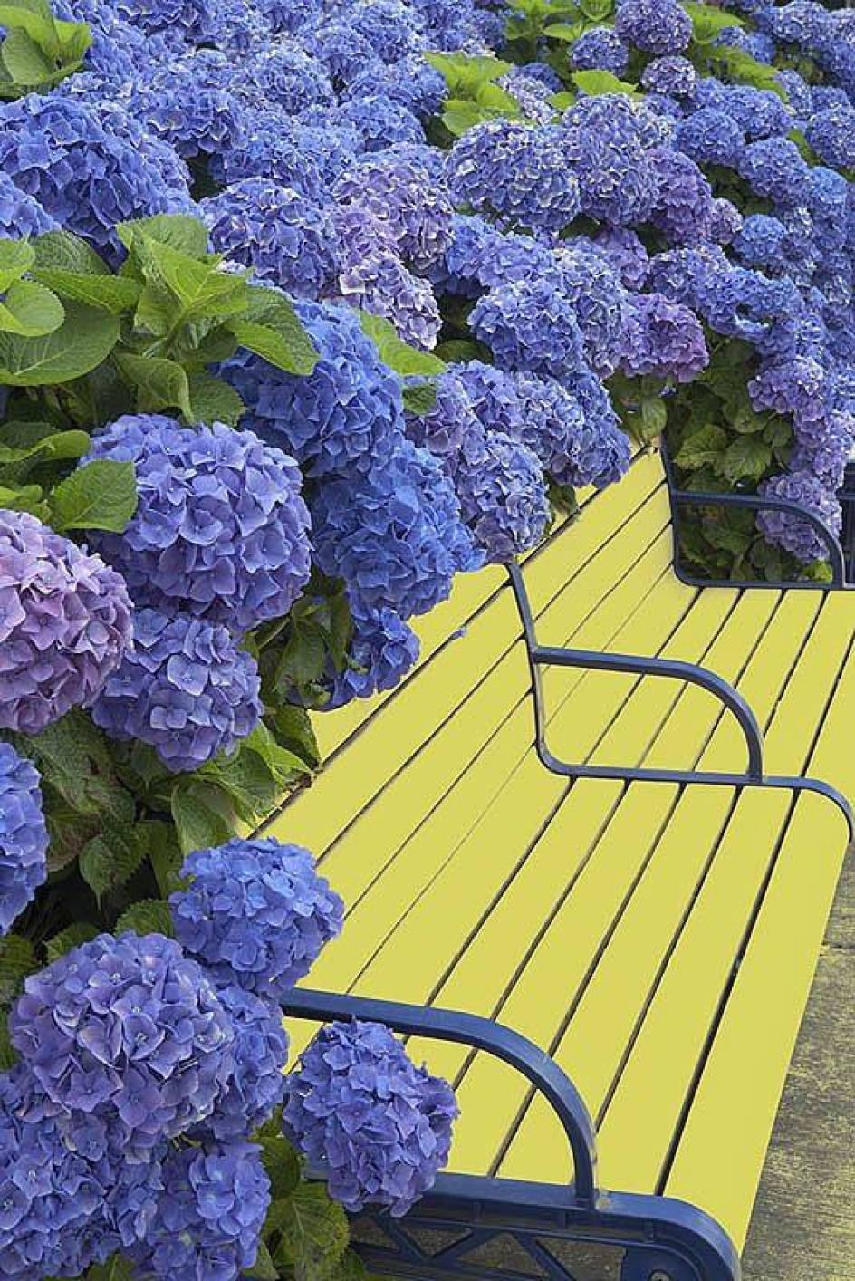 azores blue hydrangea park ponta delgada sao miguel