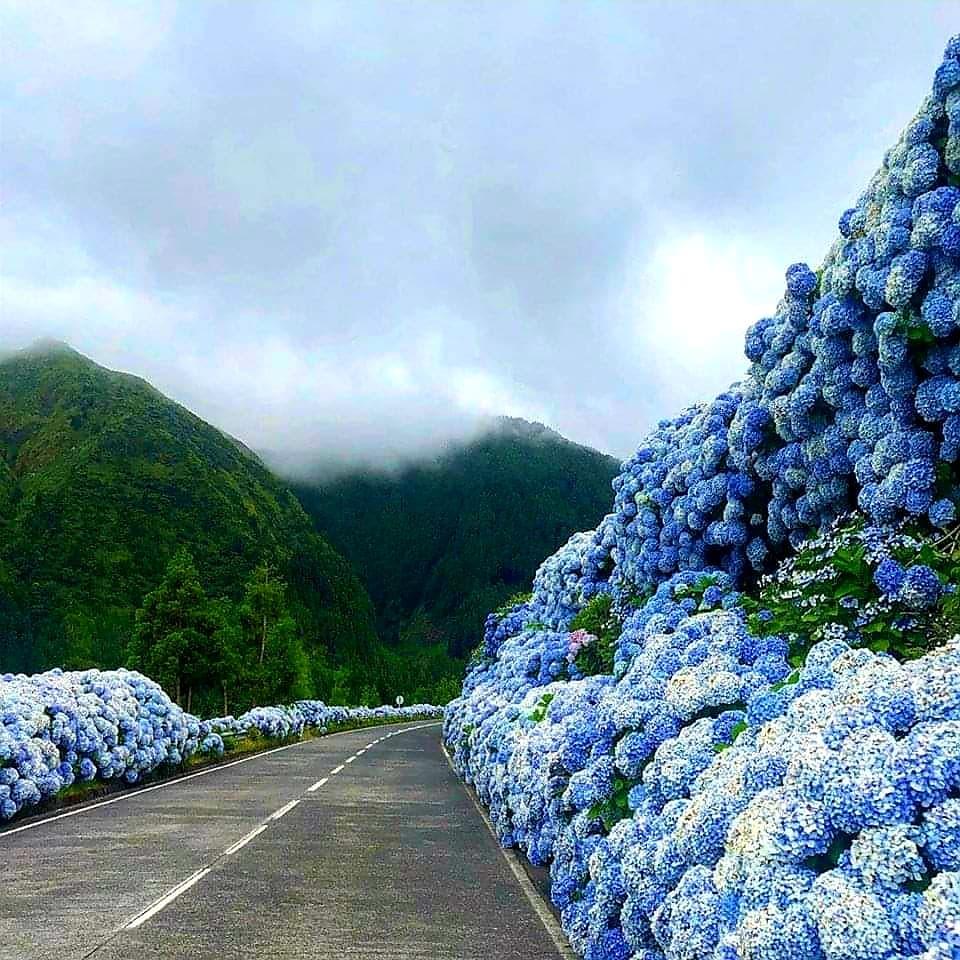 Sao Miguel Hortensia Hydrangea Road Azores