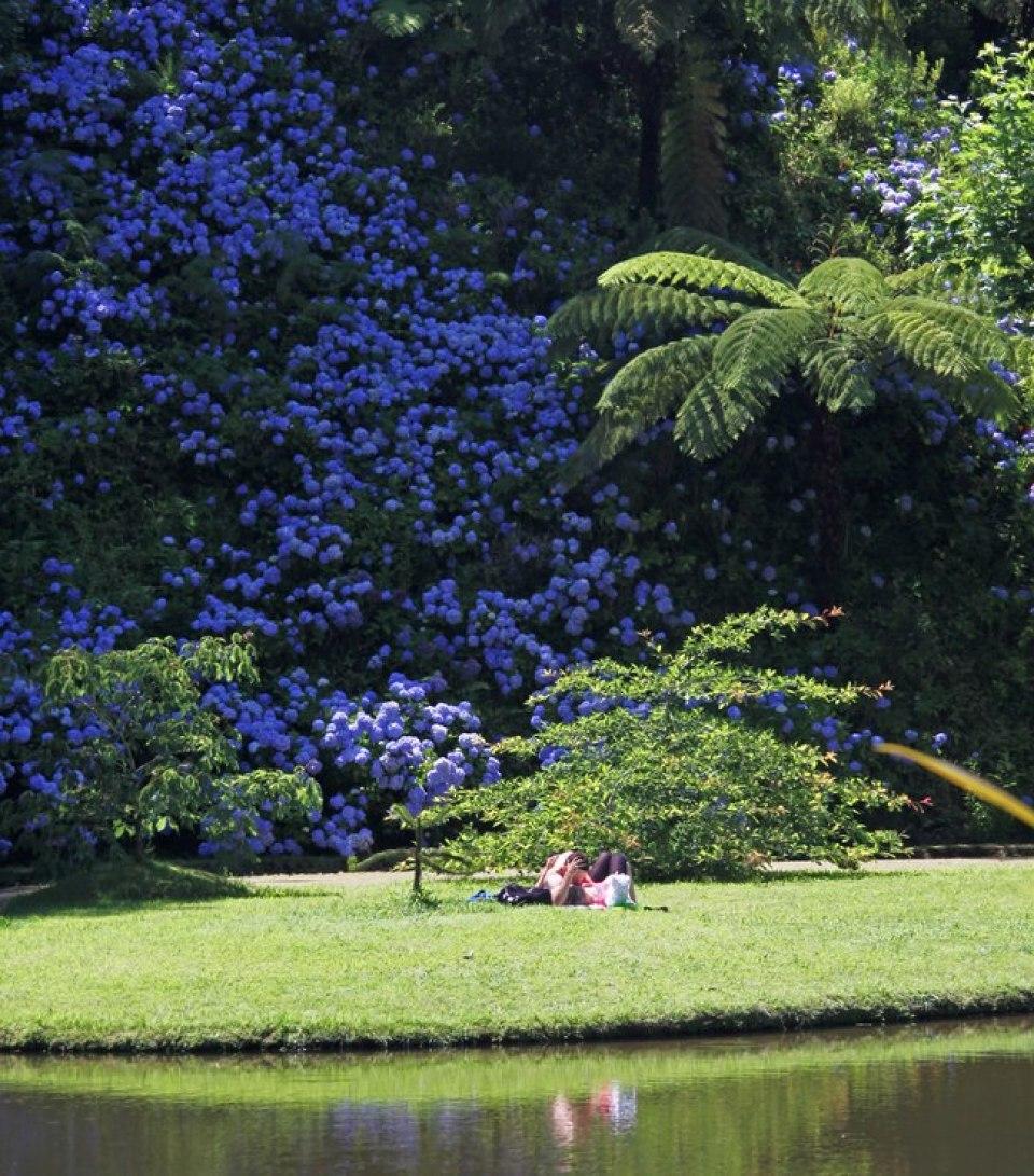 Furnas Sao Miguel island hydrangea mountin blue flowers azores