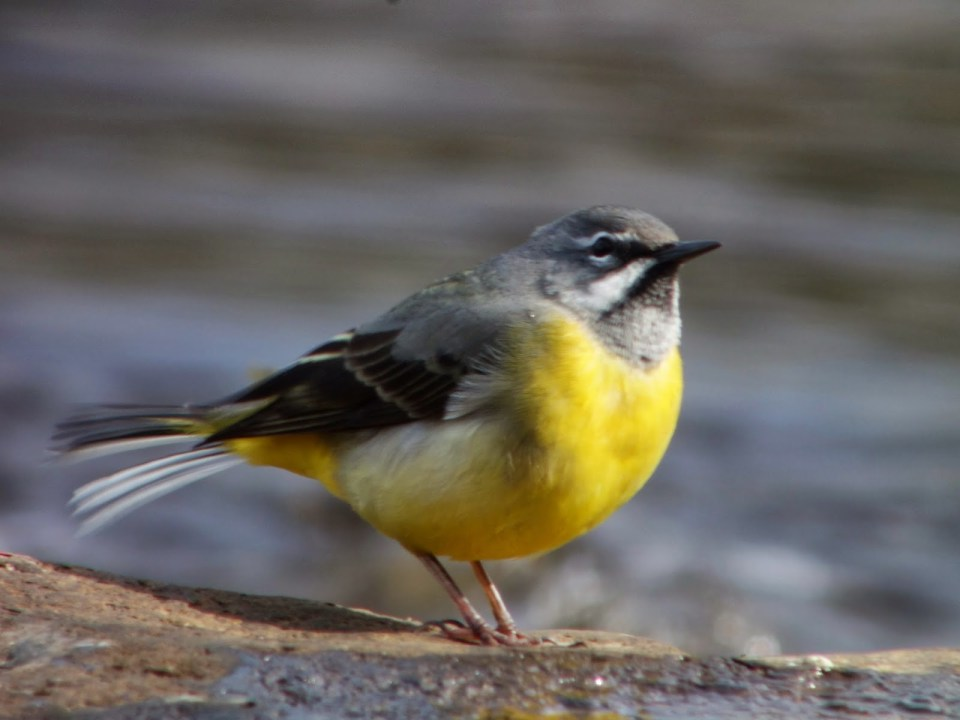Grey Wagtail in the Azores Forest on a Tree