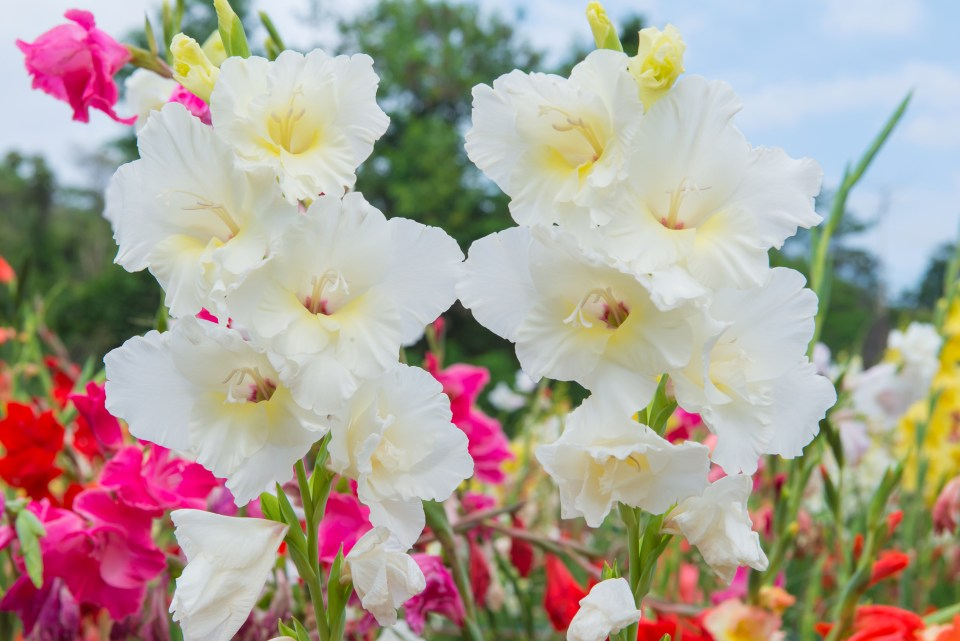 Bunch of colorful Gladiolus flowers in beautiful garden