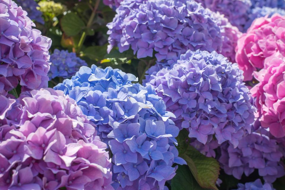 hydrangea cutting class in azores flower garden blue purple hortensias
