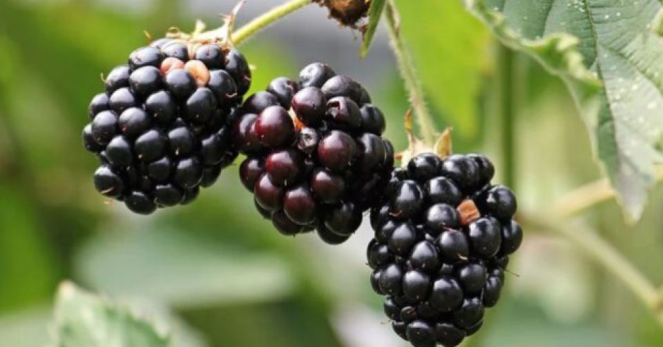 Quintal acores amora blackberry fruit azores