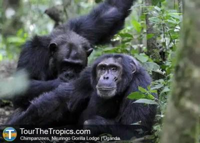 Chimpanzee, Uganda - Tourist Attractions in Uganda