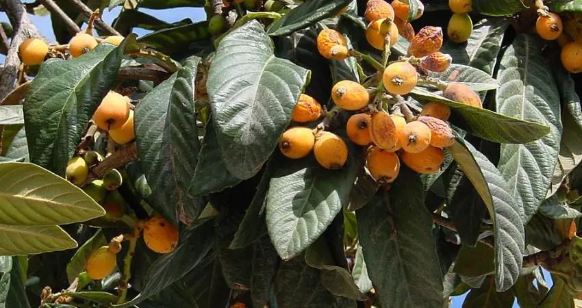 Nfle du Japon  Tous Les Fruits