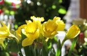 Fête des Jonquilles : Gérardmer voit la vie en jaune