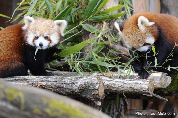 pandas-roux-rhodes-2