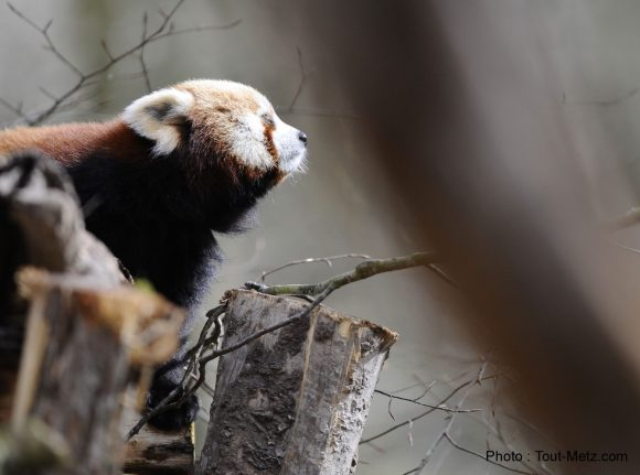 pandas-roux-rhodes-5