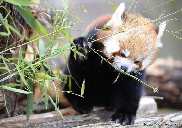 pandas-roux-rhodes-6