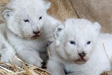 Quatre lionceaux blancs sont nés au zoo d'Amnéville (photos)