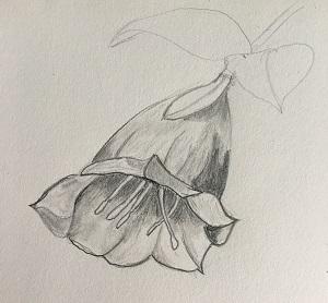 Comment dessiner une fleur (la campanule) facilement