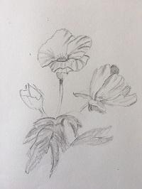 Apprendre à Dessiner Un Bouquet De Coquelicot En 3 étapes