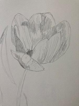 Ombres et lumière de la Tulipe