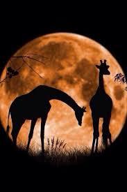 La Girafe Et La Lune : girafe, L'HISTOIRE, GIRAFE