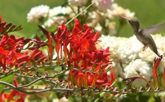 Crocosmia attracts hummingbirds