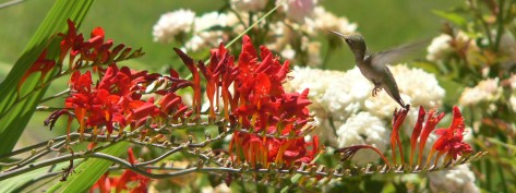 Crocosmia attracts hummingbirds