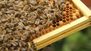 Her Majesty's Bees on honeycomb
