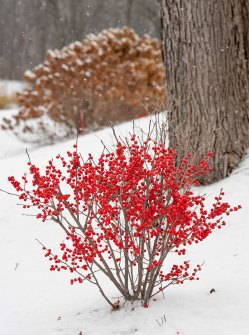 dwarf winter shrub with red berries