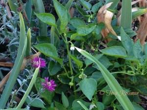 peppers-among-perennials