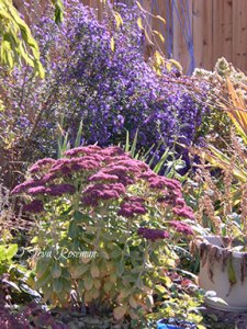 perennials blue aster and sedum 'autumn joy'