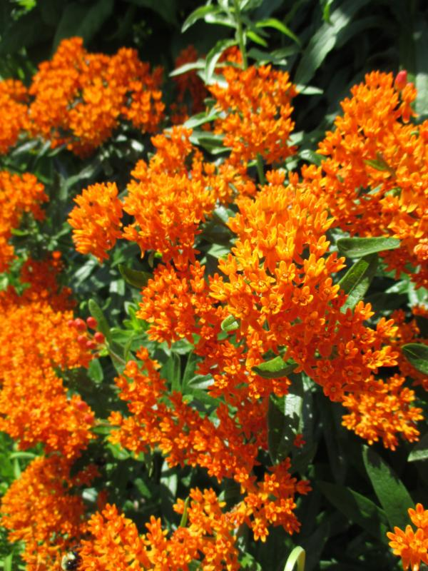 Butterfly weed perennial