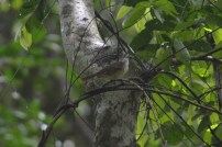 slender-billed greenbul