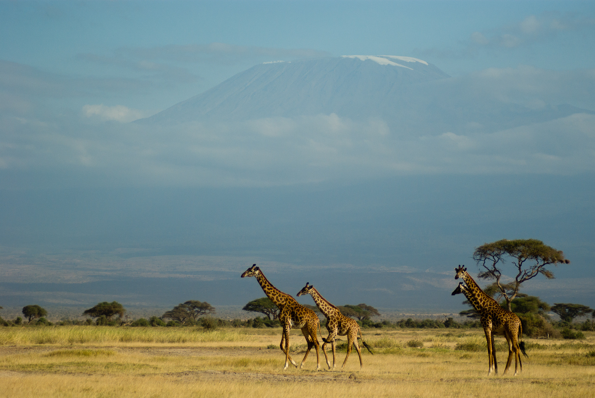 Giraffes_And_Kilimanjaro_(35248776)