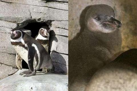 Gaypenguins