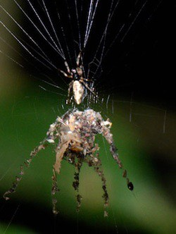 Decoy_spider