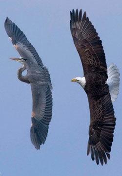 Heron_eagle