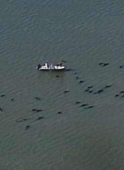 Pilotwhales
