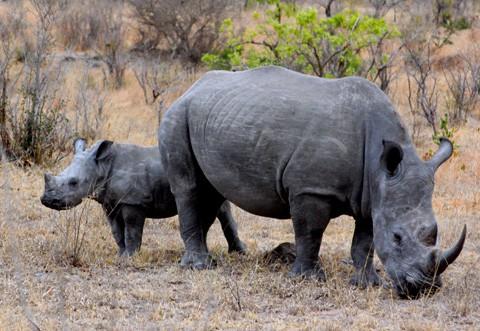 2_rhino