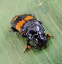 Burying-beetle