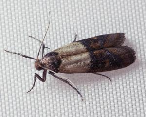 Grain Moths