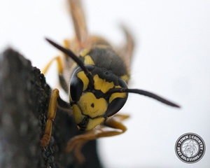 Yellow jackets And Some Bee Species Sometimes Feed On Animal Flesh