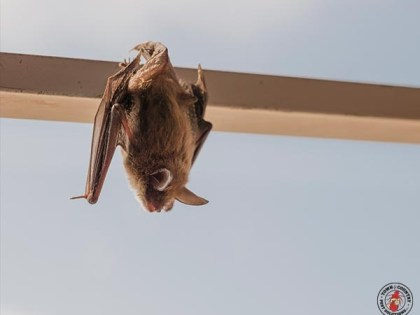 Why Bat Infestations Are Common In New York Homes?