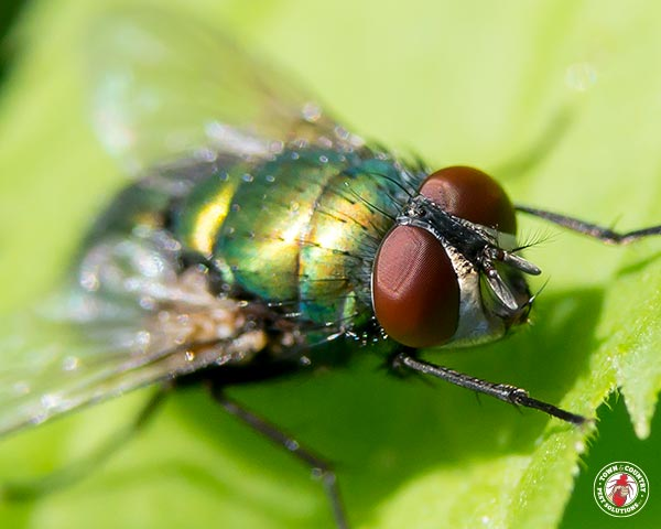 Bottle Flies