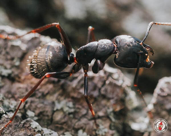 carpenter ant, town and country, town and country pest solutions, pest, pests, rochester, syracuse, buffalo, rochester ny, syracuse ny, buffalo ny, new york, western ny, rochester exterminators, syracuse exterminators, buffalo exterminators, bed bugs, fabry, matt fabry, extermination, hire the pros, friendly, trustworthy