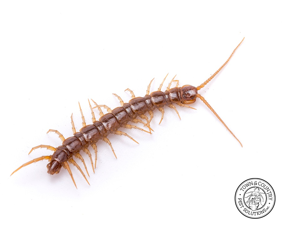 centipede, town and country, town and country pest solutions, pest, pests, rochester, syracuse, buffalo, rochester ny, syracuse ny, buffalo ny, new york, western ny, rochester exterminators, syracuse exterminators, buffalo exterminators, bed bugs, fabry, matt fabry, extermination, hire the pros, friendly, trustworthy