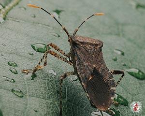 Conifer Bugs