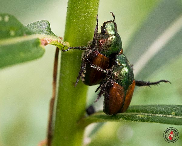 japanese beetle, japaneses beetles, beetle, beetles, town and country, town and country pest solutions, pest, pests, rochester, syracuse, buffalo, rochester ny, syracuse ny, buffalo ny, new york, western ny, rochester exterminators, syracuse exterminators, buffalo exterminators, bed bugs, fabry, matt fabry, extermination, hire the pros, friendly, trustworthy