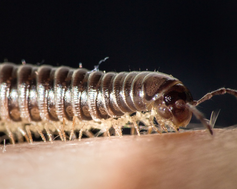 millipede, millipedes, town and country, town and country pest solutions, pest, pests, rochester, syracuse, buffalo, rochester ny, syracuse ny, buffalo ny, new york, western ny, rochester exterminators, syracuse exterminators, buffalo exterminators, bed bugs, fabry, matt fabry, extermination, hire the pros, friendly, trustworthy