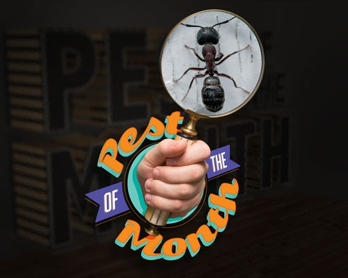 Pest of the Month: Carpenter Ants